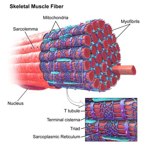 cardiac muscle picture 6