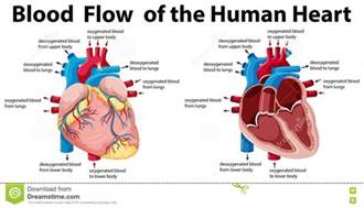 blood flow of bony picture 2