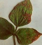 bacterial leaf spot of g picture 19