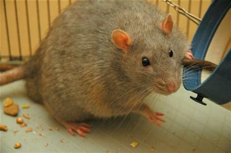 cholesterol studies in rats picture 2
