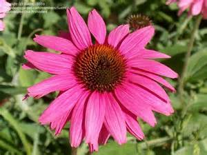 echinacea facts picture 15