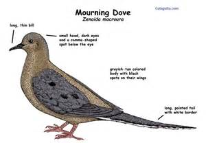 mourning dove diet picture 9