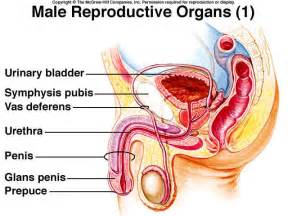 examining male sex organs picture 9