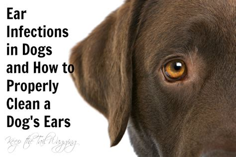 yeast in dogs ears picture 10