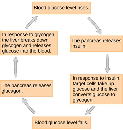 which amino acids increases blood flow picture 9