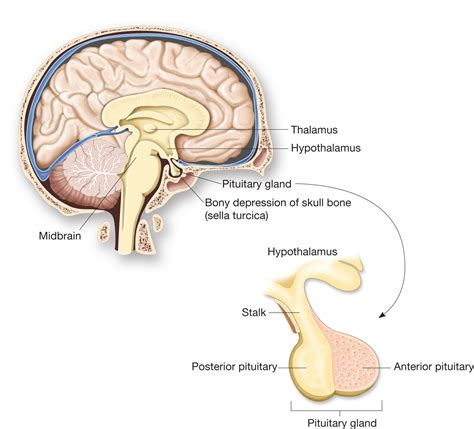 anterior pituitary picture 5