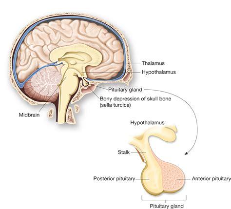 adenohypophysis picture 2