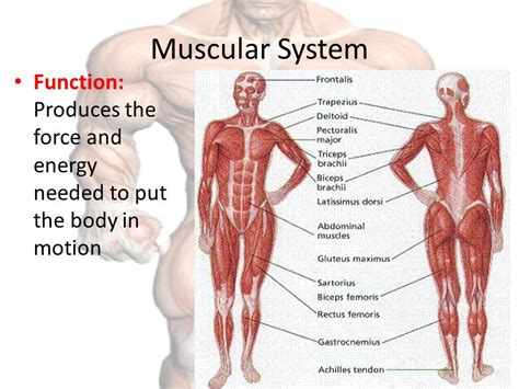 functions oe the muscle system picture 9