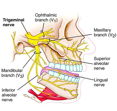 ciliary muscle and trigeminal pain picture 17