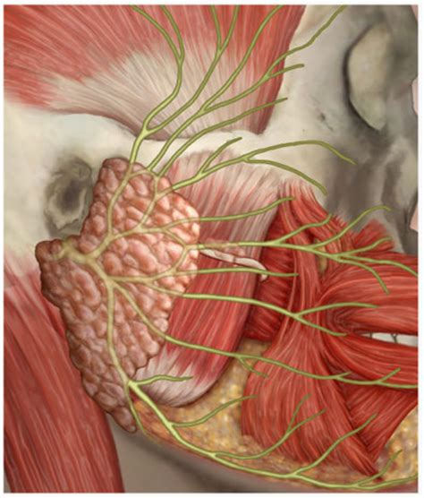 what nerves are affected by herpes picture 3
