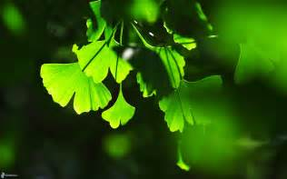 smoking weed while on ginkgo biloba picture 13