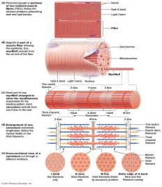 anatomy of skeletal muscle fiber picture 3