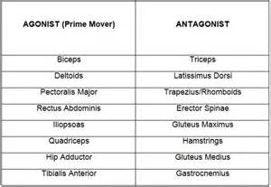 muscle agonist and antagonist list picture 2