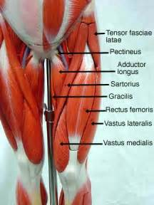 anatomy muscle model picture 6