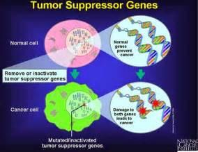 tumor suppressor genes tumor promoting genes oncogenes picture 2