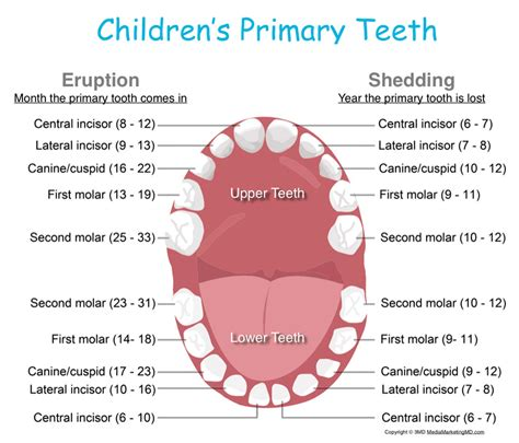 ages children loose baby teeth picture 9