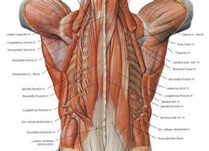 low back muscle charts psoasis picture 1