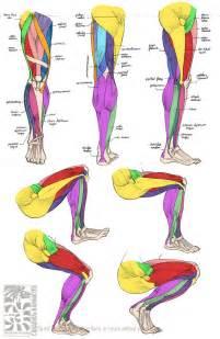 leg muscle illustration picture 1
