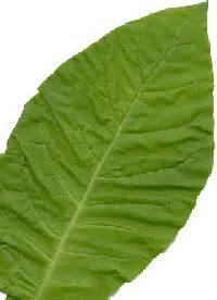 where to buy pure tobbaco leaves in austin picture 2