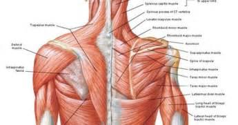 muscle tendon diagram picture 7