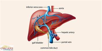 where is the liver located in the human picture 6