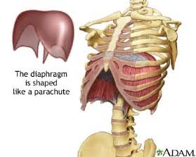 diaphram muscle for breathing picture 17