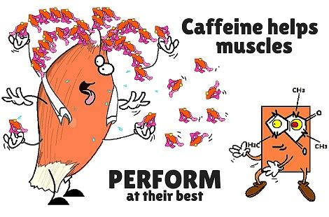caffeine & muscle picture 2