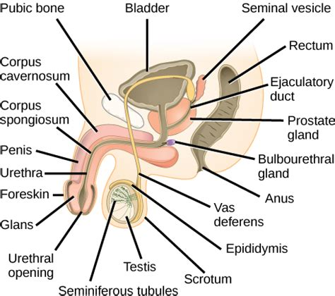 show and identify the various components of the male penis picture 3