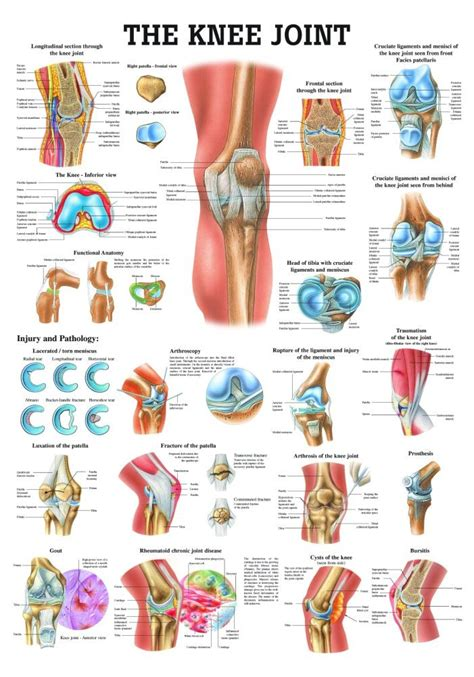 anatomy of a knee joint pictures and labels picture 5