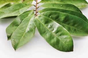 guyabano herbal picture 6