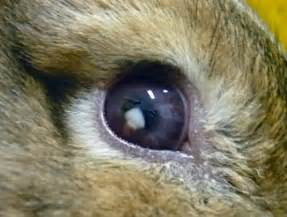 rabbit eye infection pictures picture 2