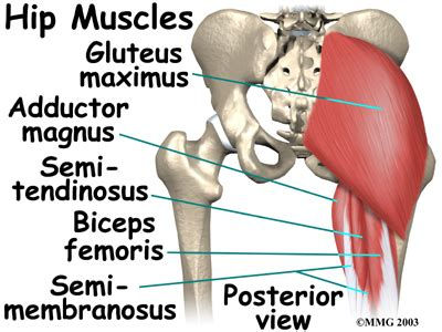 anatomy of the hip joint picture 15