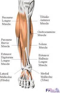 leg muscle illustration picture 14