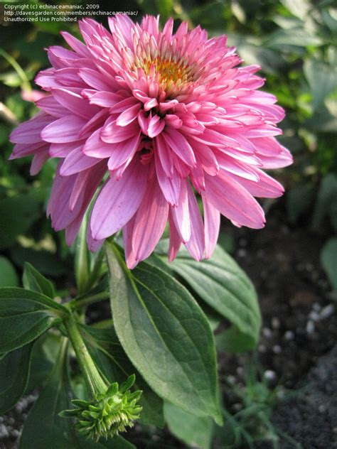 echinacea pink poodle picture 2