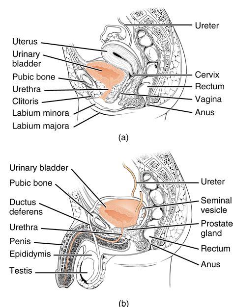women urethra picture 7