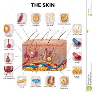 free images of skin illustration picture 5