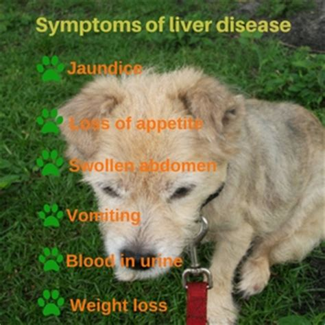 signs of liver problems in dogs picture 4