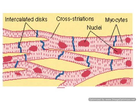 cardiac muscle as a syncytium picture 10