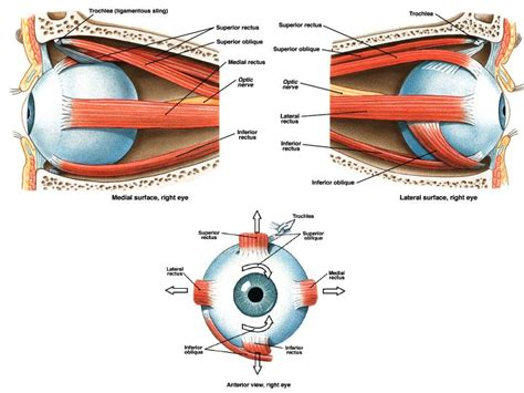 Eye muscle pain picture 2