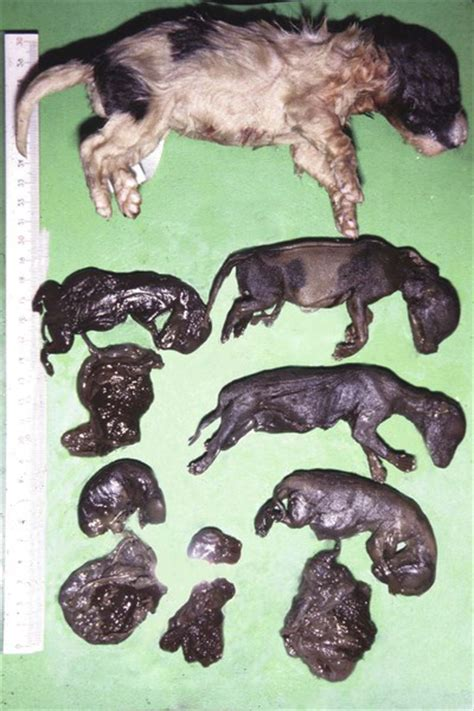 canine herpes virus picture 15