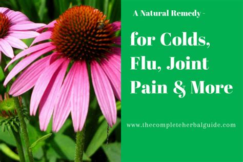 echinacea and the common cold picture 5