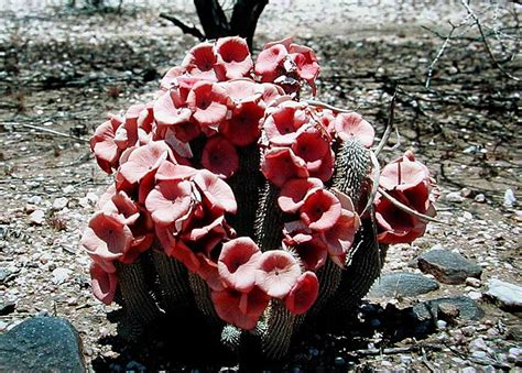 make your own hoodia picture 9
