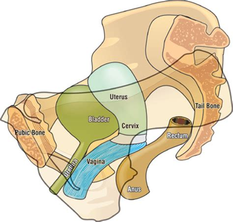 diagram of bladder prolapse picture 3