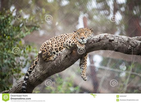 cheetah sleeping in a tree picture 14