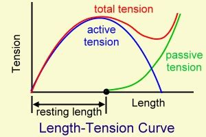 definition of passive muscle tension picture 6