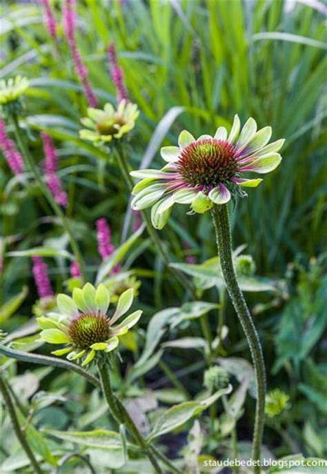 echinacea green envy skin care picture 3