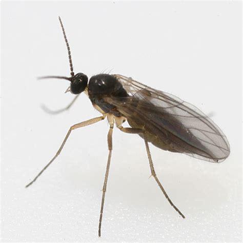 fungus gnat picture 19