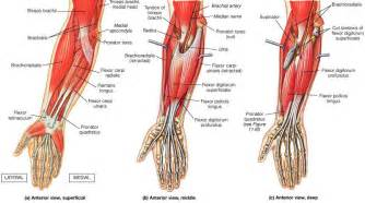 forearm muscle picture 2