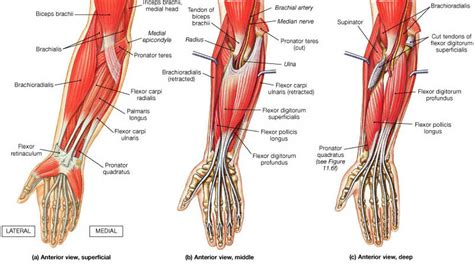 forearm muscle anatomy picture 3