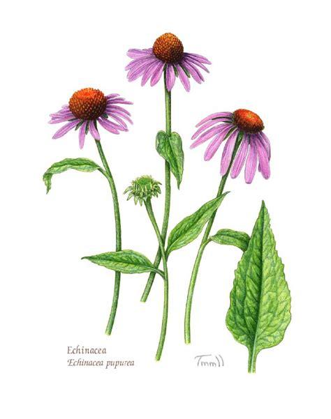 common + cold + echinacea picture 7